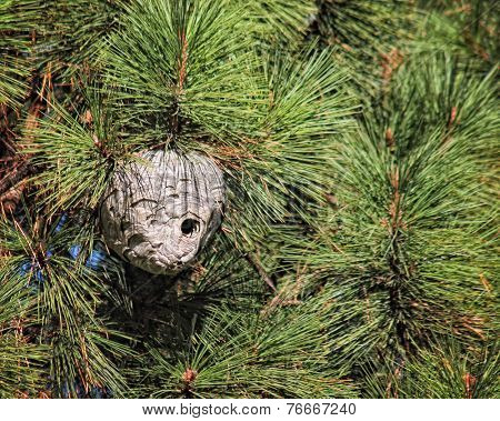 big wasp nest in a pine tree
