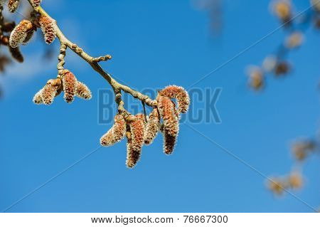 Catkins at Alder Tree