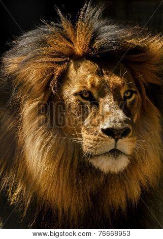 Lion Male Closeup