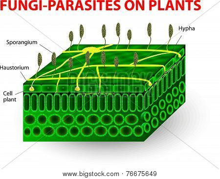 Fungi-parasites on plants