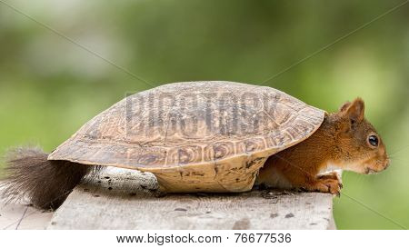 squirrel turtle shell