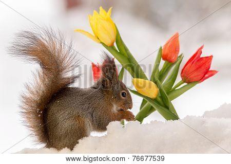 Winter Tulips