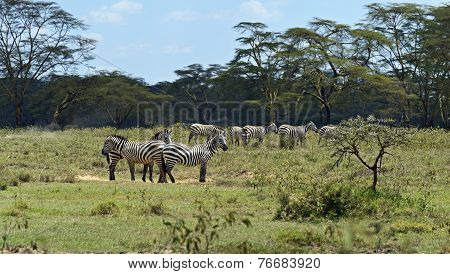 Zebras in the nature park