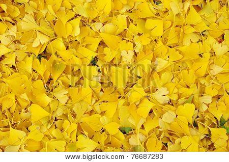 Fallen Ginkgo Biloba Leaves In Autumn