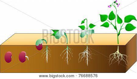 germination beans