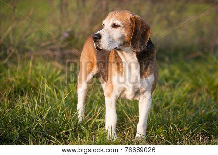 Pedigree proficient foxhound beagle on meadow