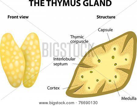 Thymus structure