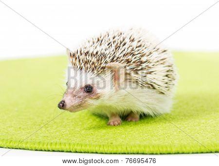 Pet Pygmy Hedgehog
