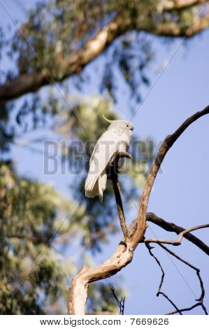 Cockatoo on a tree