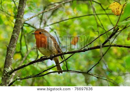 English Robin On A Branch In The Forest