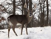 image of buck  - Close up profiled image of a large whitetail deer buck - JPG