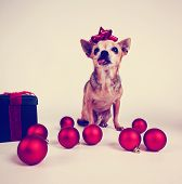 image of chihuahua mix  -  a tiny chihuahua dressed in a christmas outfit toned with a retro vintage instagram filter effect  - JPG