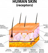 image of fat cell  - cross section human skin and sensory receptors - JPG