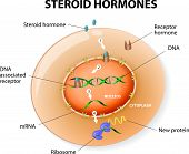 picture of gene  - How work steroid hormones response - JPG