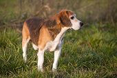 picture of foxhound  - Beautiful purebred smart beagle hunting dog in summer pasture - JPG