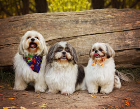 stock photo of spayed  -  three white mixed breed dog at a public nature park  - JPG