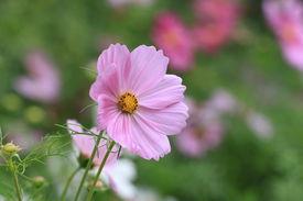 stock photo of cosmos flowers  - Cosmos flowers - JPG
