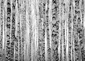 image of winter trees  - Winter trunks birch trees black and white - JPG