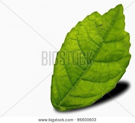 Mulberry Leaf On A White.add The Dimensions Of Shadow