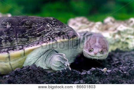 Amphibian Exotic Animal Chelidae In Water