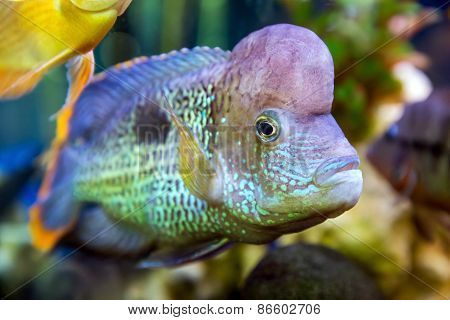 Cichlid Swimming In The Aquarium
