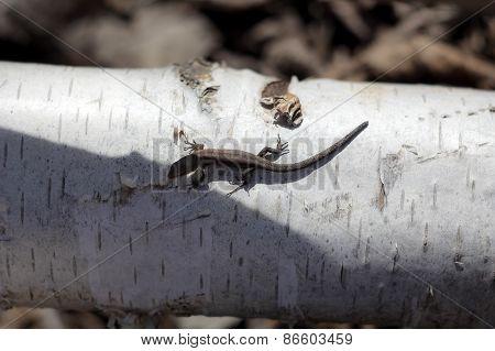 young lizard on birch