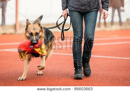 German shepherd dog training in Gomel Regional sports club and d
