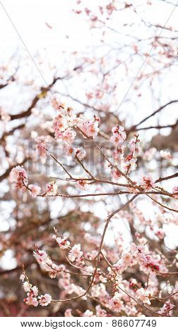 Plum Blossom In Japan