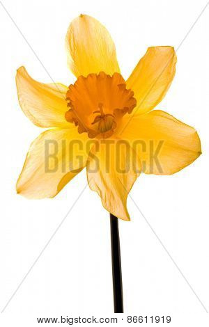 Wild Daffodil Lent Lily Isolated on White Background