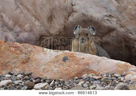 American Pika - Jasper National Park