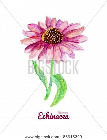 Watercolor medicinal flower of echinacea