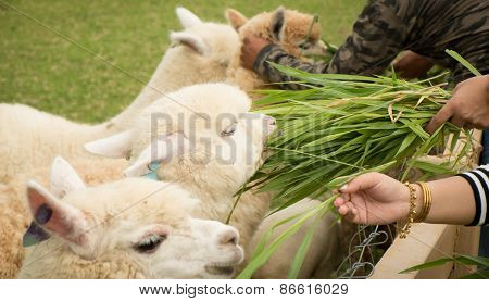 Tourist Feeding Green Ruzi Grass Leaves To Llama Alpacas In Setting Animals Farm ,selection Focus