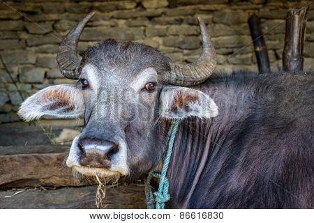 A buffalo in a stone barn, Nepal