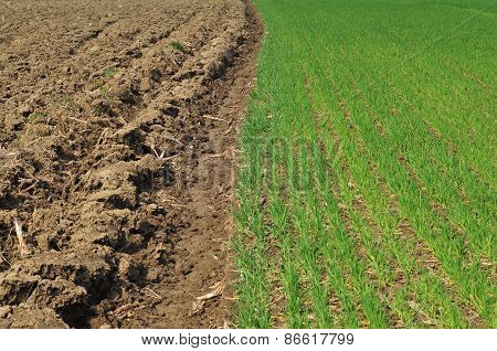 Plowed land and cereal field