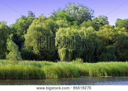 Willow With Other Trees On The River Bank
