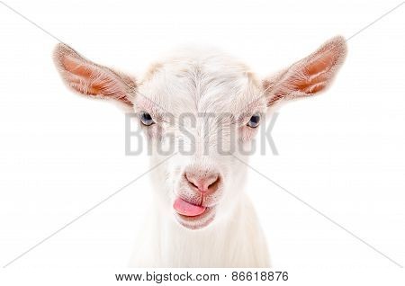 Portrait of a goat showing tongue