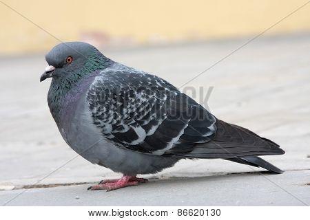 dove. Grey pigeon Shooting on street.