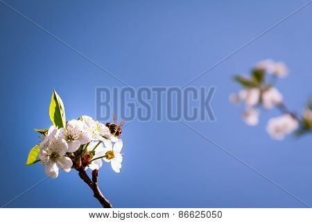 Bee pollinating spring blossoming flowers
