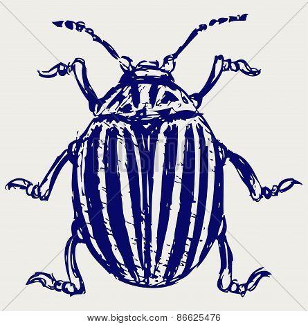 Beetle leptinotarsa decemlineata