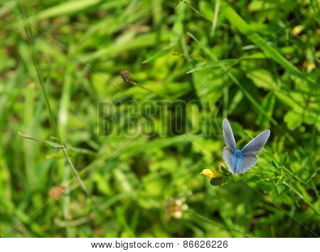 Polyommatus Icarus Butterfly