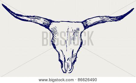 Head skull of bull