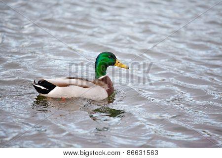 Mallard Male Swimming On A Lake