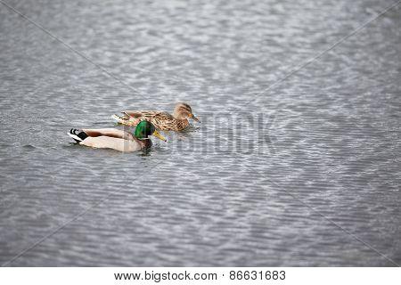 Mallard Couple Swimming On A Lake