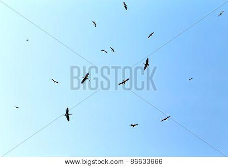 Flock Marabou