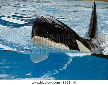 Killer Whale Smiling