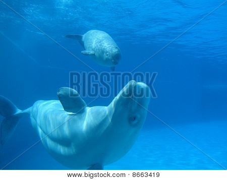 Beluga Whale and Baby