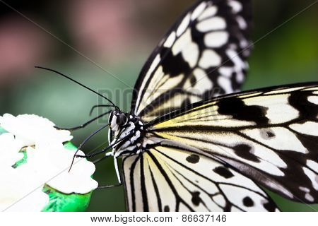 Idea Leuconoe Butterfly
