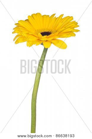 yellow gerbera bloom isolated on white background