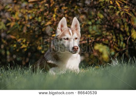 Majestic Portrait Of Grey Black Purebread Husky Dog Lying On Green Grass