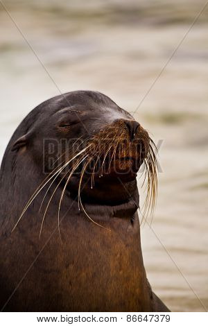 Portrait of cute brown sea lion in San Cristobal, Galapagos Islands